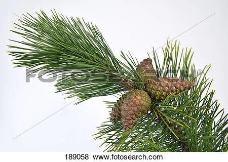 Pictures of Austrian Pine, Black Pine, Corsican Pine (Pinus nigra.