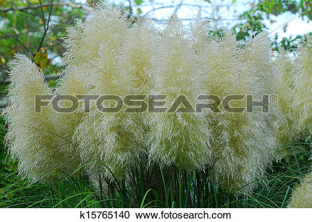 Stock Photography of Cortaderia selloana pumila pampas grass.