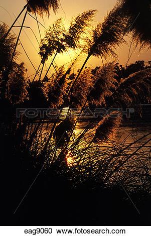 Stock Photography of PAMPAS GRASS (Cortaderia selloana) at sunset.