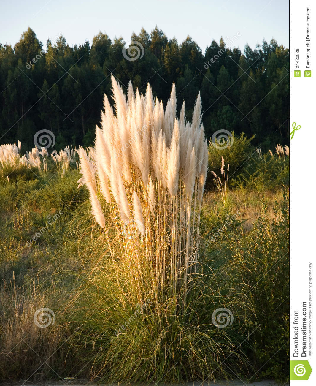 Pampas Grass, Cortaderia Selloana In Vertical Composition Royalty.