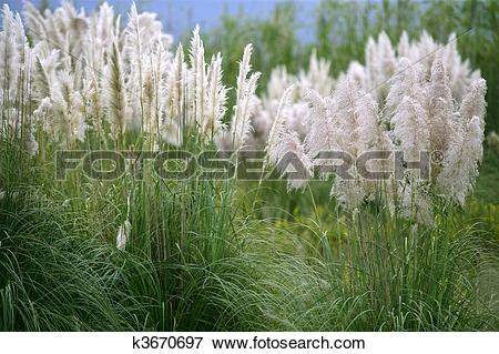 Picture of Cortaderia selloana, Poaceae wild spike savana flower.