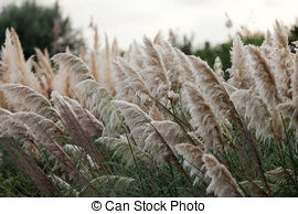 Stock Photo of Cortaderia selloana or Pampas grass blowing in the.