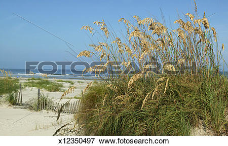 Picture of Pampas grass (Cortaderia selloana) on sand dune.