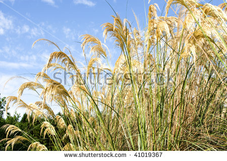 Cortaderia Selloana Commonly Known As Pampas Grass.Pampas Grass Is.