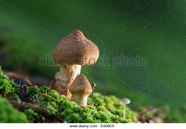 Deadly Mushrooms Stock Photos & Deadly Mushrooms Stock Images.