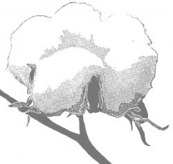 Cotton Clipart.