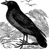 Corvus Clip Art.