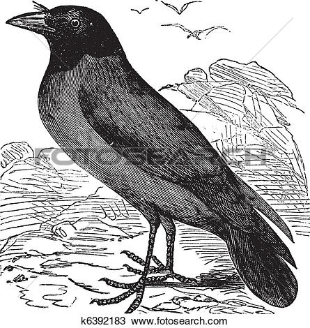 Clipart of Hooded Crow or Hoodiecrow or Corvus cornix vintage.
