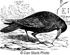 Corvus Vector Clipart Illustrations. 140 Corvus clip art vector.