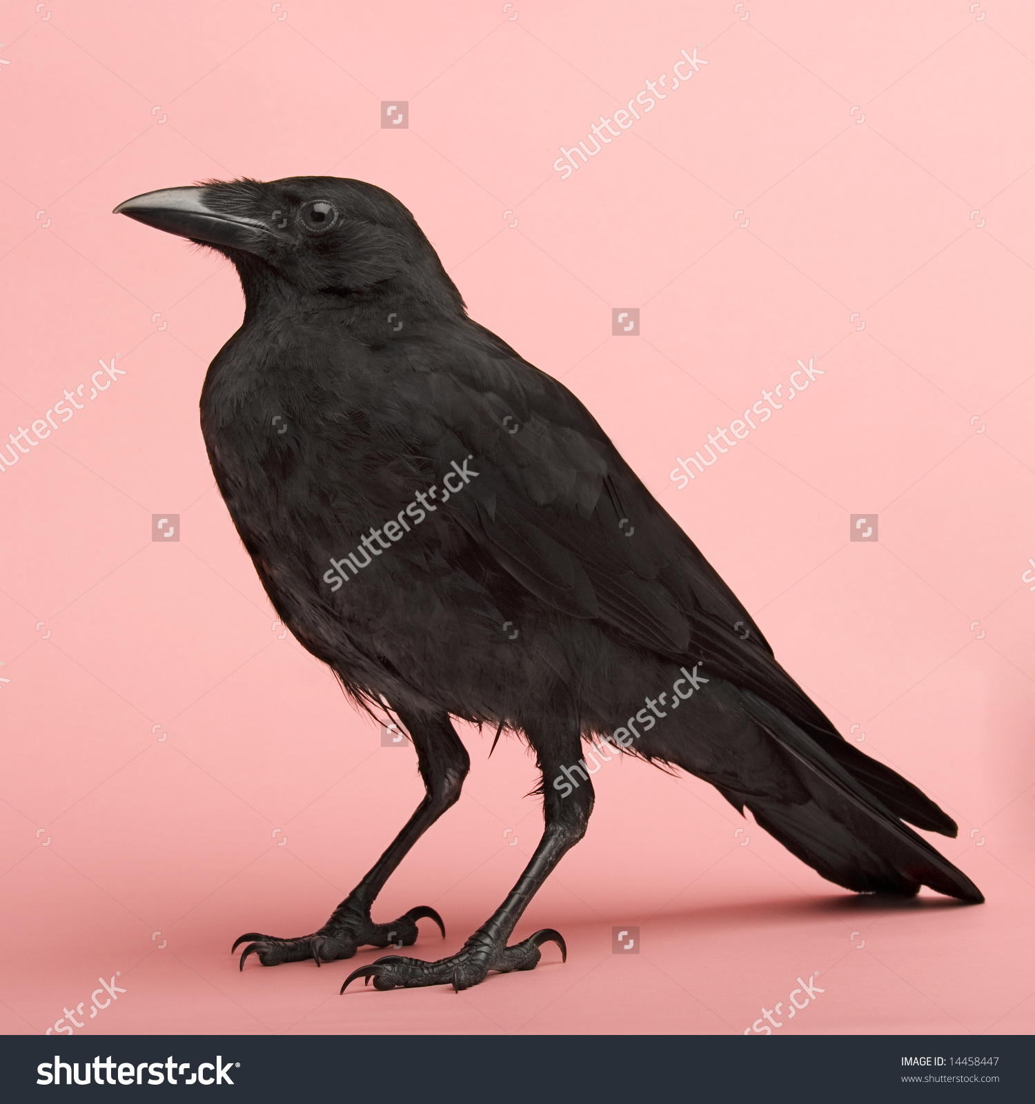Young Carrion Crow Corvus Corone 3 Stock Photo 14458447.