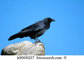 Corvus corone Stock Illustration Images. 8 corvus corone.