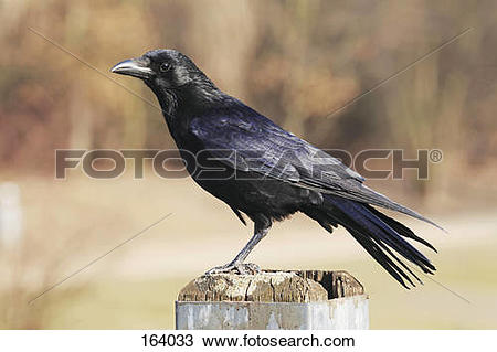 Stock Photo of Carrion Crow.