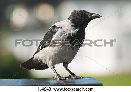 Stock Photo of Hooded Crow.