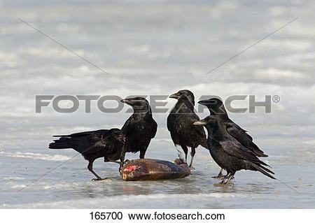 Stock Photography of Carrion Crows with prey / Corvus corone.