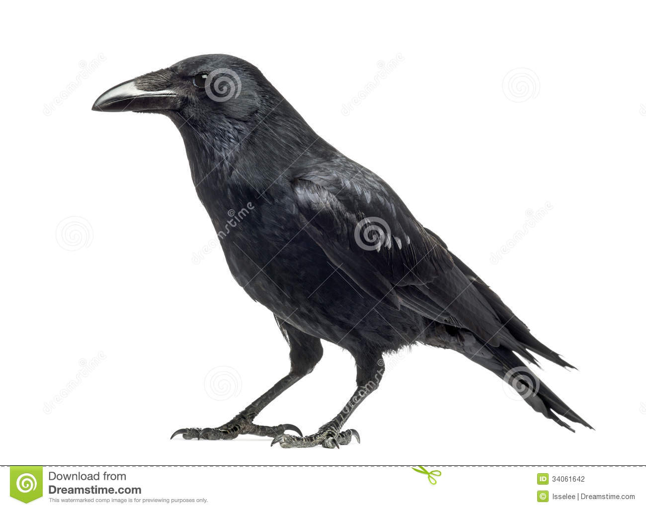 Side View Of A Carrion Crow, Corvus Corone, Isolated Royalty Free.