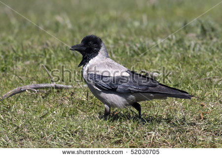 Hooded Crow Stock Photos, Royalty.