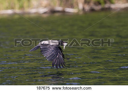 Stock Image of Hooded Crow (Corvus corone cornix). Adult with a.