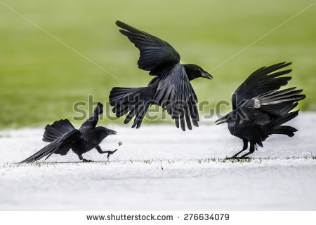 Crow Stock Photos, Royalty.