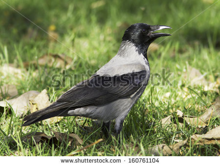 """hooded Crow"""" Stock Photos, Royalty."""