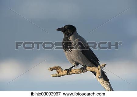"Picture of ""Hooded Crow (Corvus corone cornix), Molde, Norway."