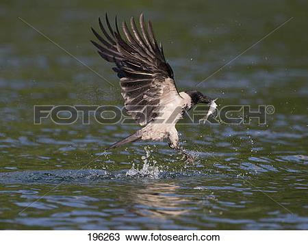 Stock Photo of Hooded Crow (Corvus corone cornix). Adult fetching.