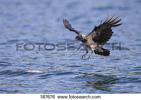 Stock Images of Hooded Crow (Corvus corone cornix). Adult in.