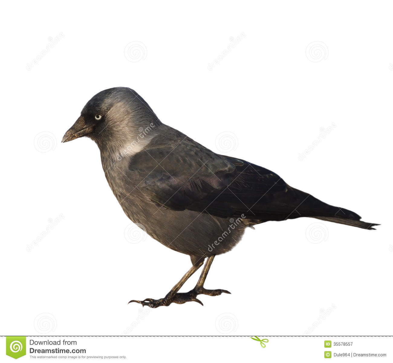 Jackdaw Isolated On White Royalty Free Stock Photography.