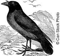 Vector of Jackdaw or Corvus monedula vintage engraving.