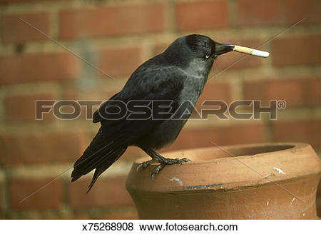 Pictures of jackdaw: corvus monedula can start housefires by.