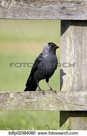 "Stock Photography of ""Jackdaw (Corvus monedula), adult, perched on."
