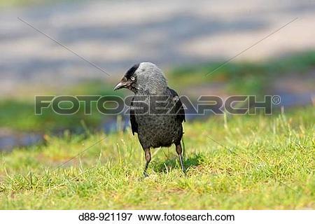 Picture of choucas des tours Jackdaw Corvus monedula Ordre.
