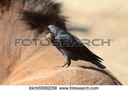 "Pictures of ""Jackdaw (Corvus monedula, Coloeus monedula."