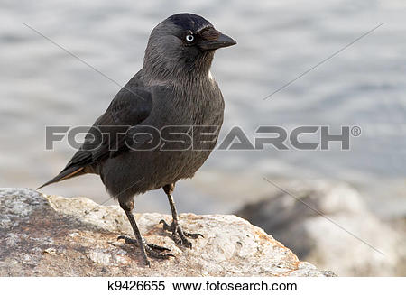 Stock Image of Western Jackdaw. Corvus monedula. k9426655.