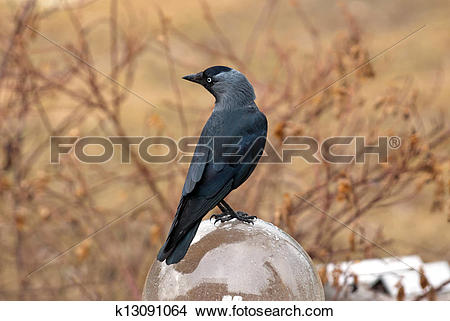 Stock Photo of Jackdaw (Corvus monedula) k13091064.
