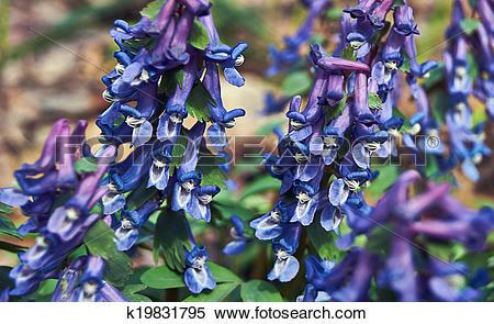 Stock Image of Flowering plant of Corydalis dense (Corudalis.