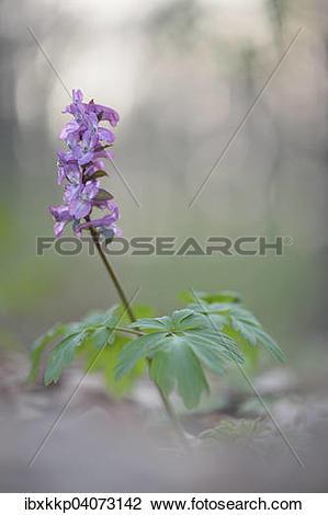 Stock Photo of Hollowroot (Corydalis cava), Saxony, Germany.