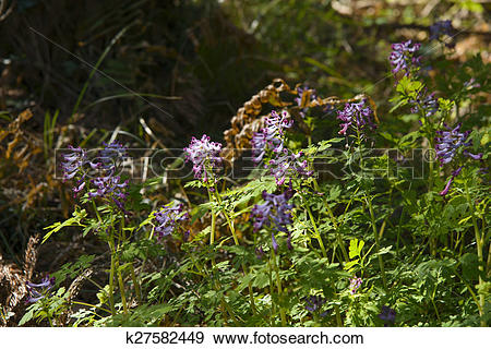 Stock Photograph of Corydalis incisa flowers k27582449.
