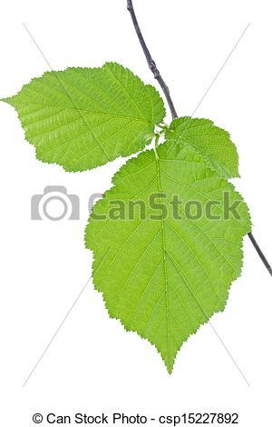 Stock Photographs of Hazel leaves isolated on white (Corylus.