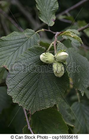 Stock Photography of Hazel nuts, Corylus avellana, Nuts and leaf.