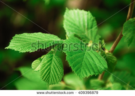 Corylus Avellana Stock Photos, Royalty.