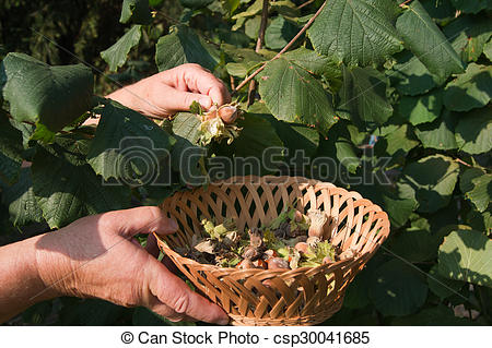 Pictures of European hazel (Corylus avellana) yield of the bushes.