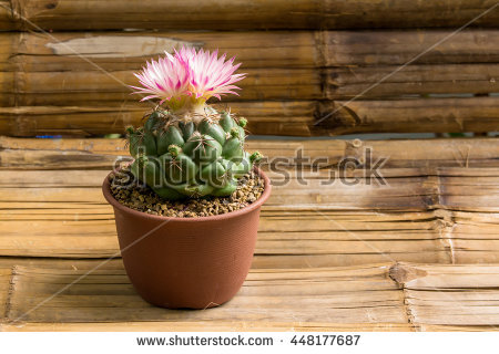 Coryphantha Stock Photos, Royalty.
