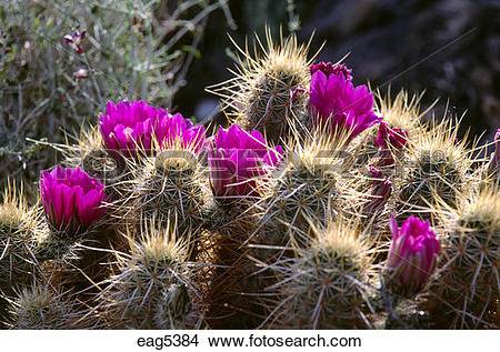 Stock Photo of Magenta FLOWERS of FOXTAIL CACTUS (Coryphantha.