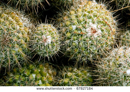 Cluster Of Coryphantha Cactus In Arizona Stock Photo 67827184.