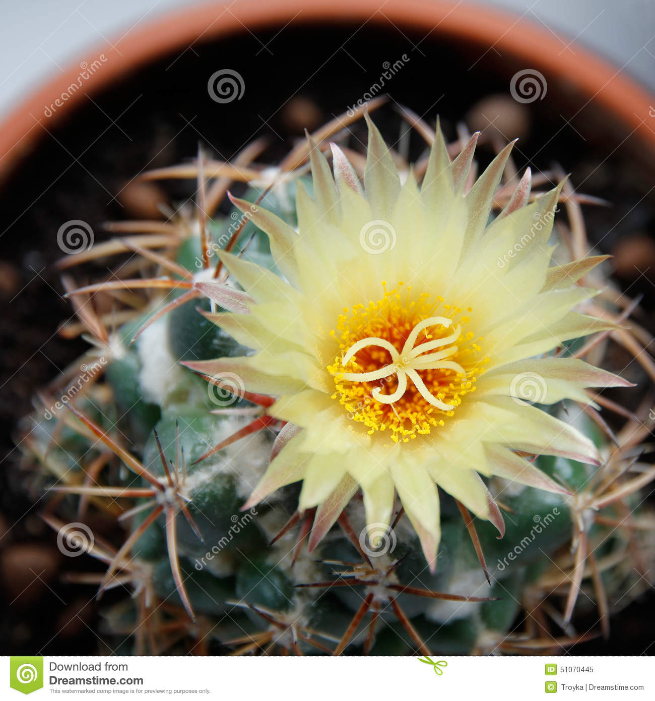 Blooming Cactus Coryphantha. Stock Photo.