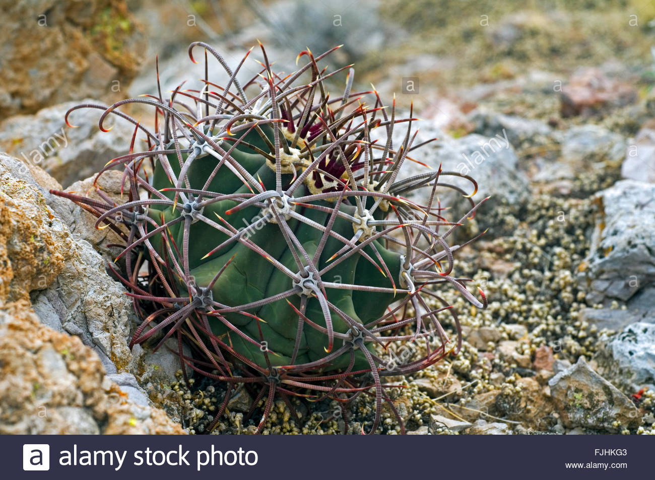 Coryphantha Stock Photos & Coryphantha Stock Images.