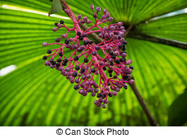 Coryphoideae Stock Photo Images. 9 Coryphoideae royalty free.
