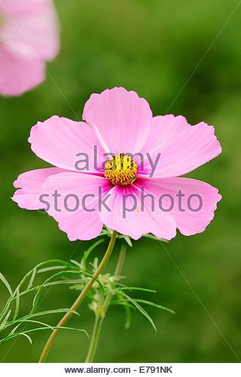 Bipinnata Stock Photos & Bipinnata Stock Images.