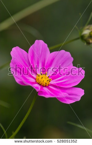 """""""mexican Aster Flowers"""" Stock Photos, Royalty."""