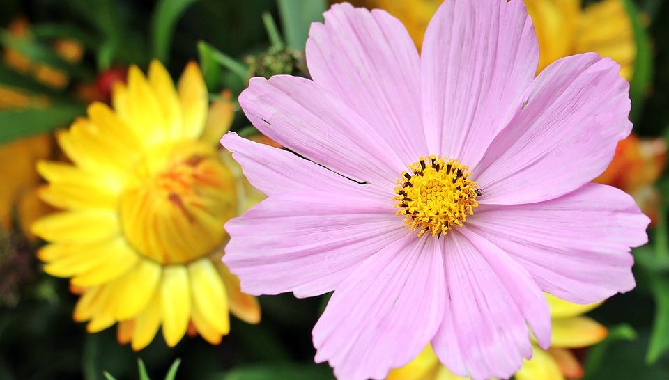 Free photo: Cosmos, Cosmea Bipinnata, Flower.
